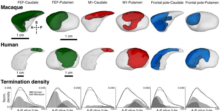 Cortico-striatal pathways terminate in different striatal zones between macaque monkeys and humans